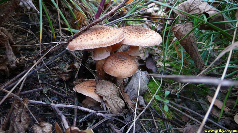 Опята. Эти грибы собирают не только в сентябре