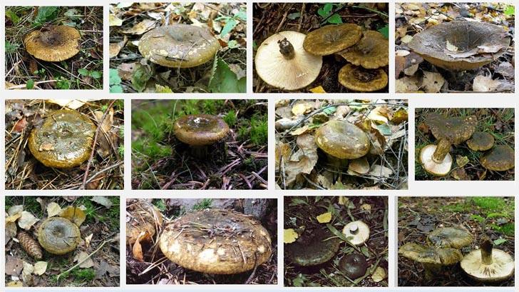 Груздь черный - описание гриба