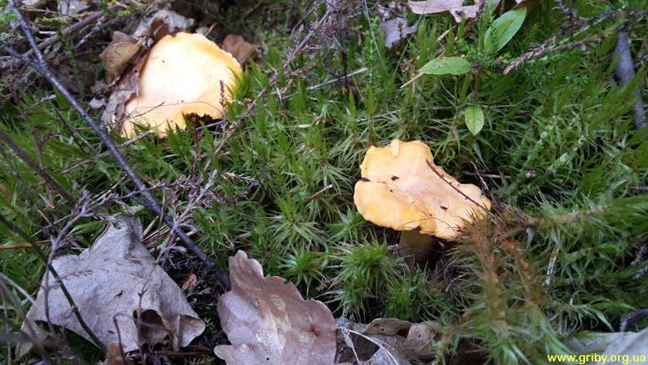 Лисички – замечательные грибы июня