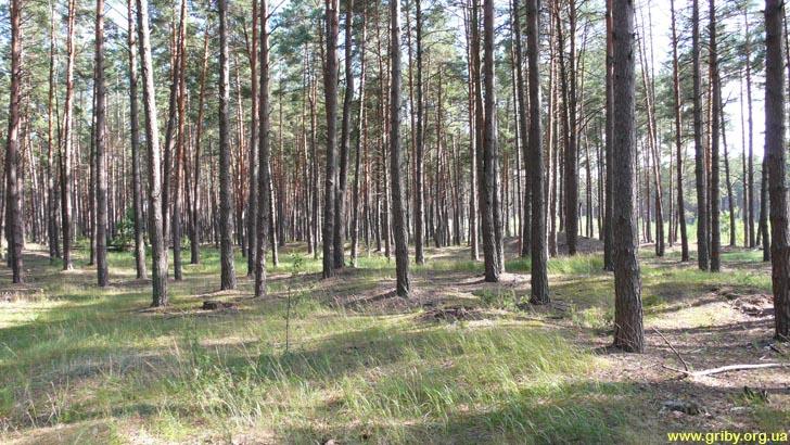 Грибной лес в июле