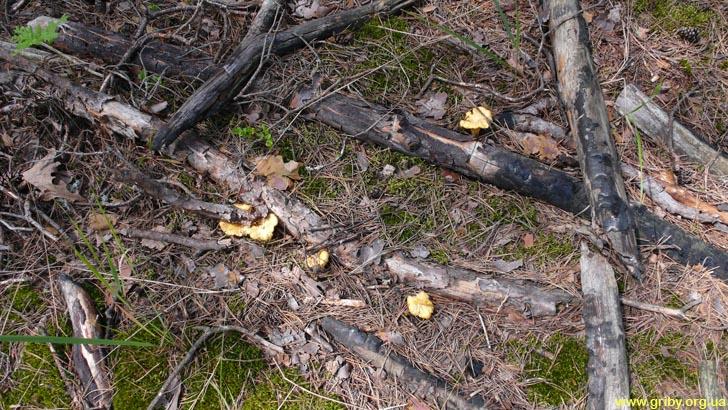 Лисички во мху у кострища