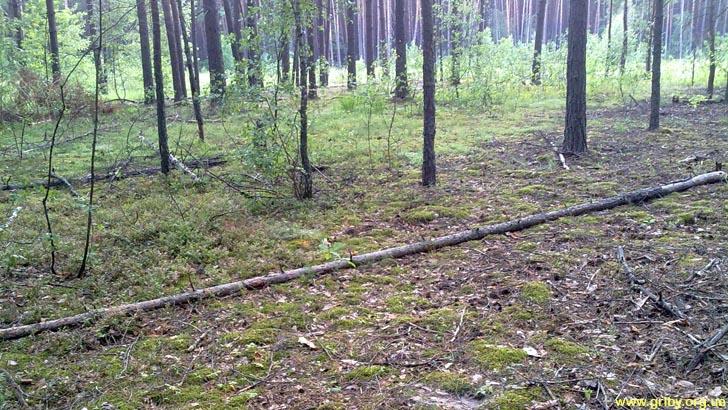 В таком лесу растут лисички