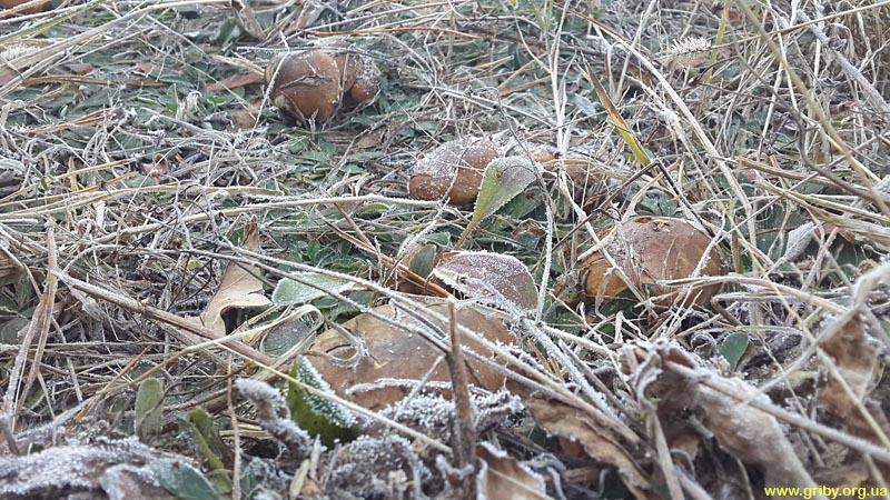 Маслята в октябрьских заморозках