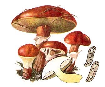 Масленок лиственничный