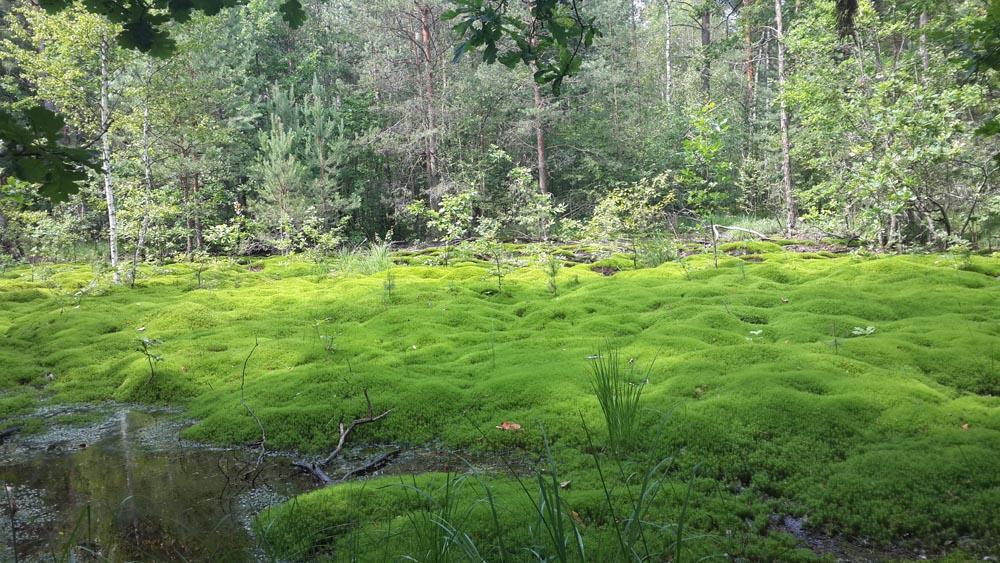 Грибы в жару могут расти на болотах во мху