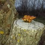 Опёнок зимний растёт на деревьях и пнях