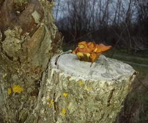 Фламмулина растёт на деревьях и пнях