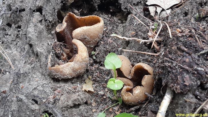 Пецица коричневая Peziza badia