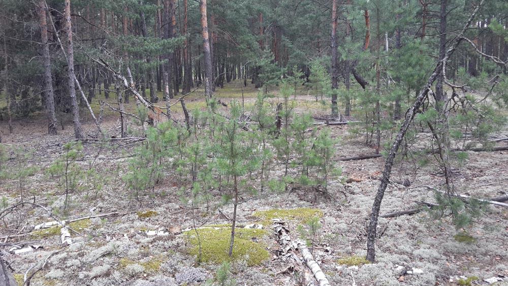 Полесский лес