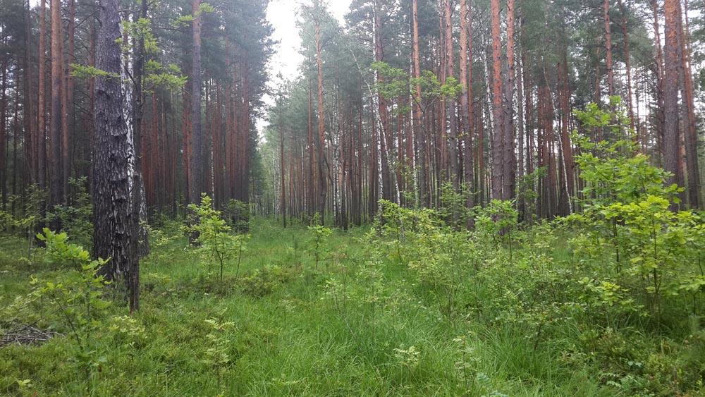 Полесский лес в жару