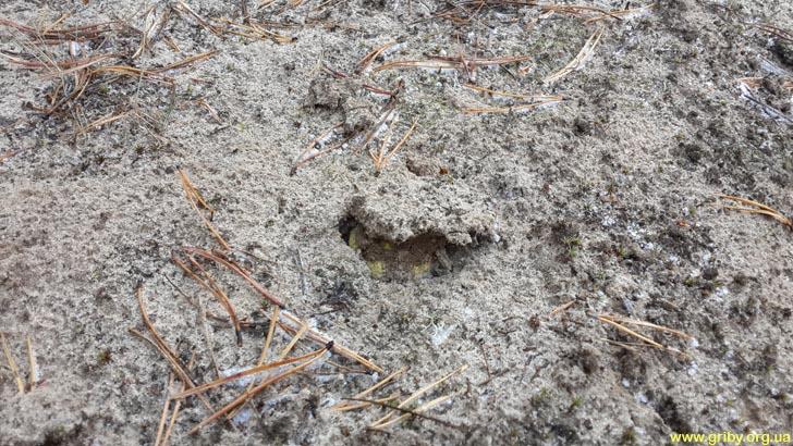 Зеленая рядовка выглядывает из-под песка