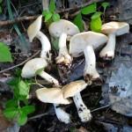 Майский гриб или Рядовка майская - Calocube gambosum