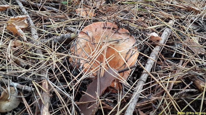 Октябрьский гриб - рыжик