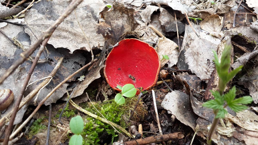 Красные саркосцифы - украшение апрельского леса