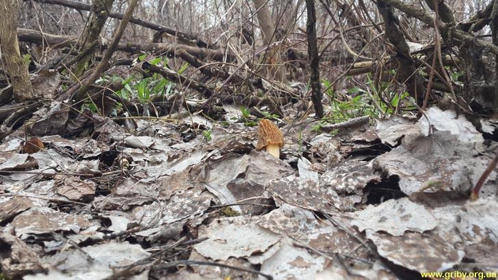 Сморчковая шапочка в лесу